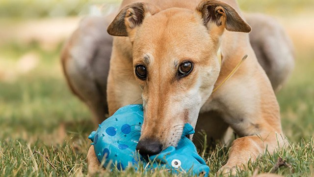 FAQs - Greyhounds as Pets