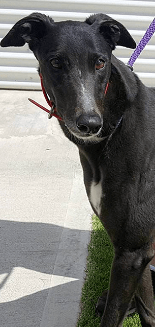 Racing And Wagering Western Australia Greyhounds As Pets