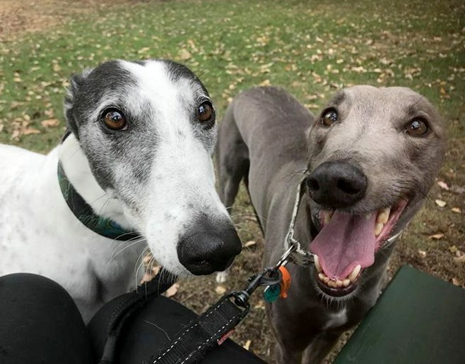 Q Amp A What Makes Greyhounds Such Great Pets Greyhounds